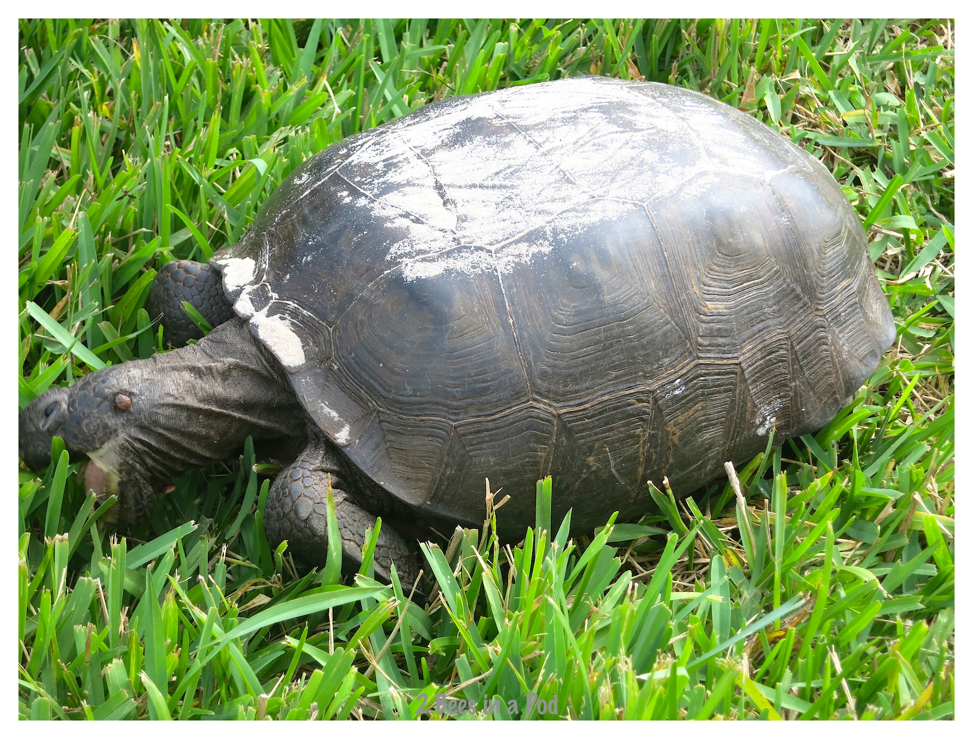 A large tortoise munching on sweet grass at Crescent Beach, Florida
