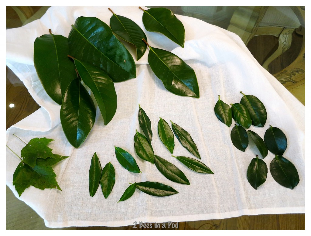 For skeleton leaf process i collected a variety of leaves to use. How to make skeleton leaves.