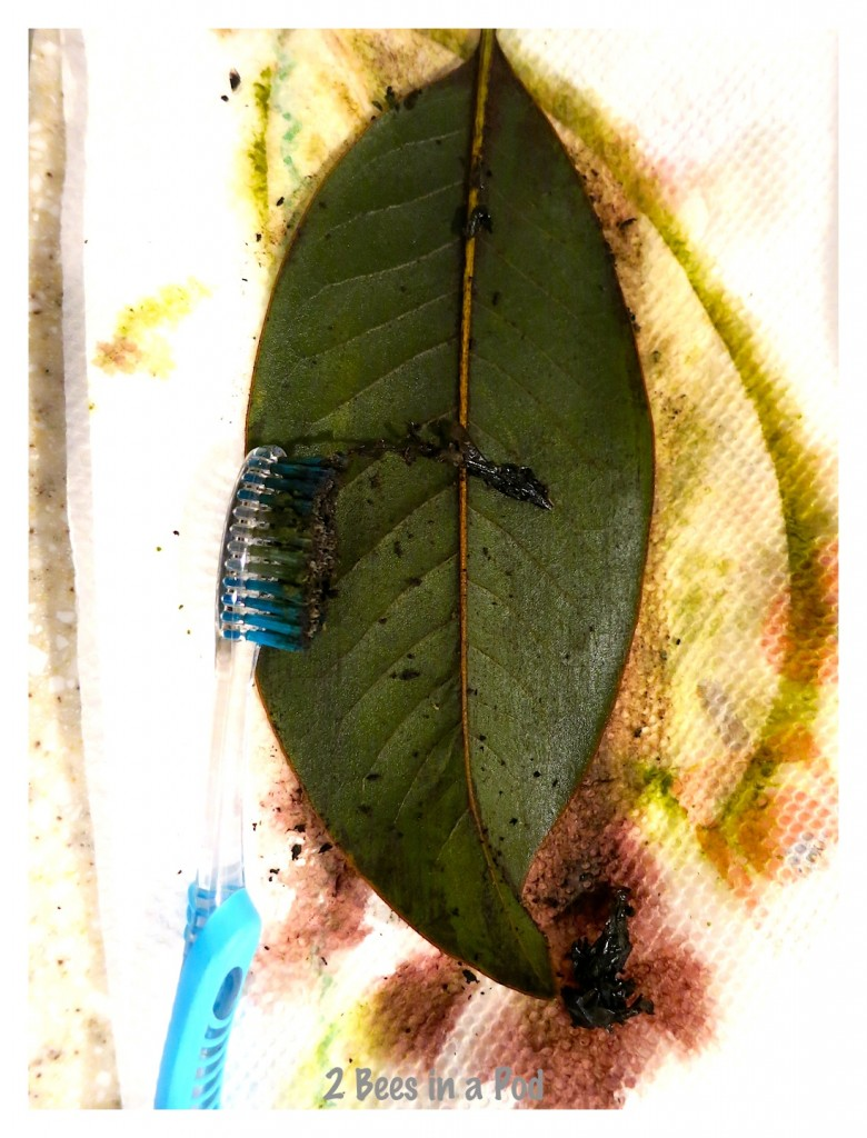 To reveal the leafs skeleton you begin rubbing off outer layer with an old toothbrush