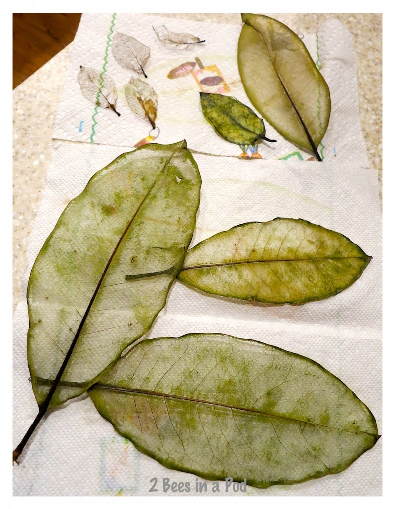 The skeleton leaves are drying. Magnolia leaves.