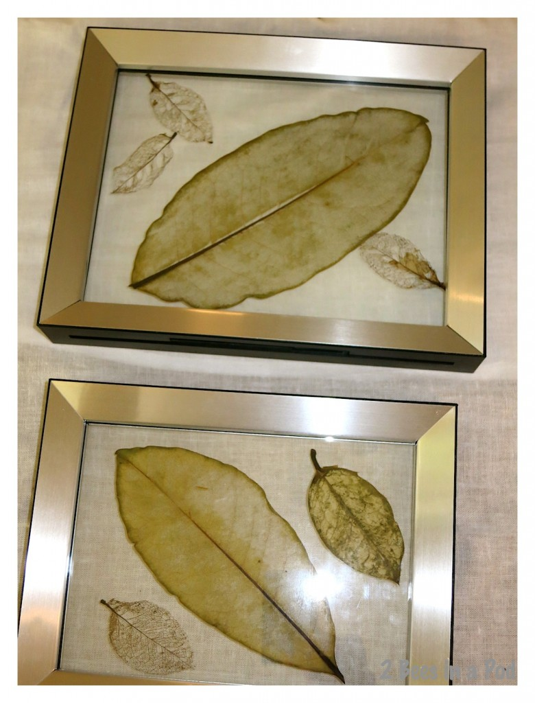 How to make a skeleton leaf - ready to be displayed