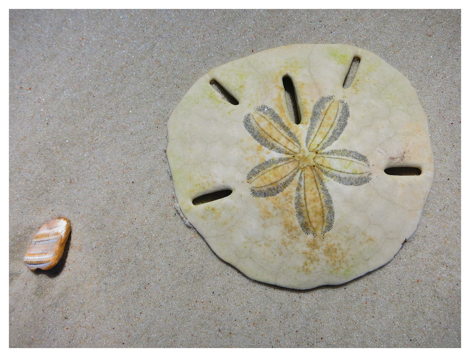 Lucky find...a complete sand dollar at Crescent Beach, Florida