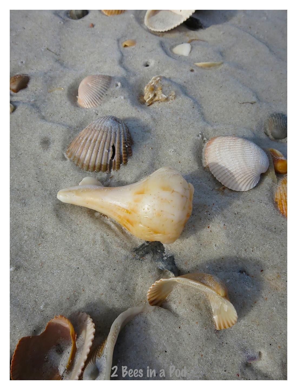 Beautiful seashells at Crescent Beach, Florida