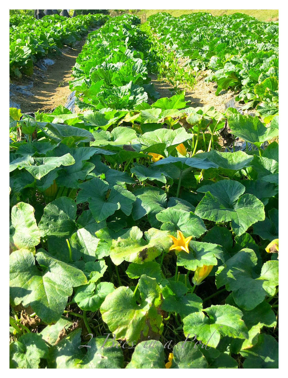 South Koreans do not have lawns - they have beautiful gardens of food,