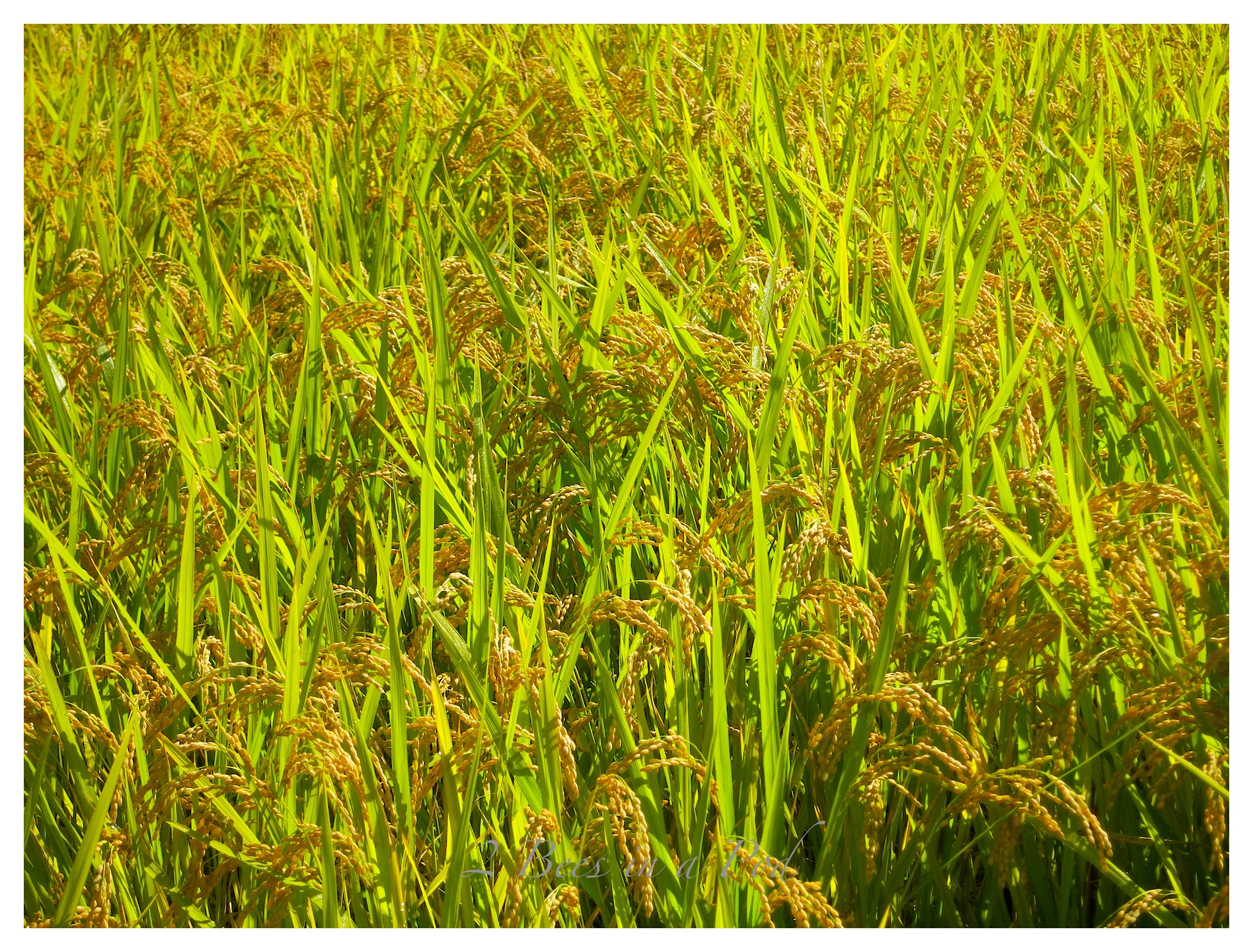 My first time ever seen real rice growing in a rice paddy in the South Korean countryside