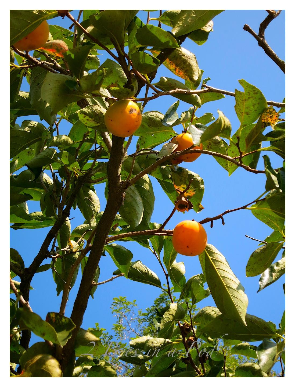 Beautiful persimmons growing in South Korea