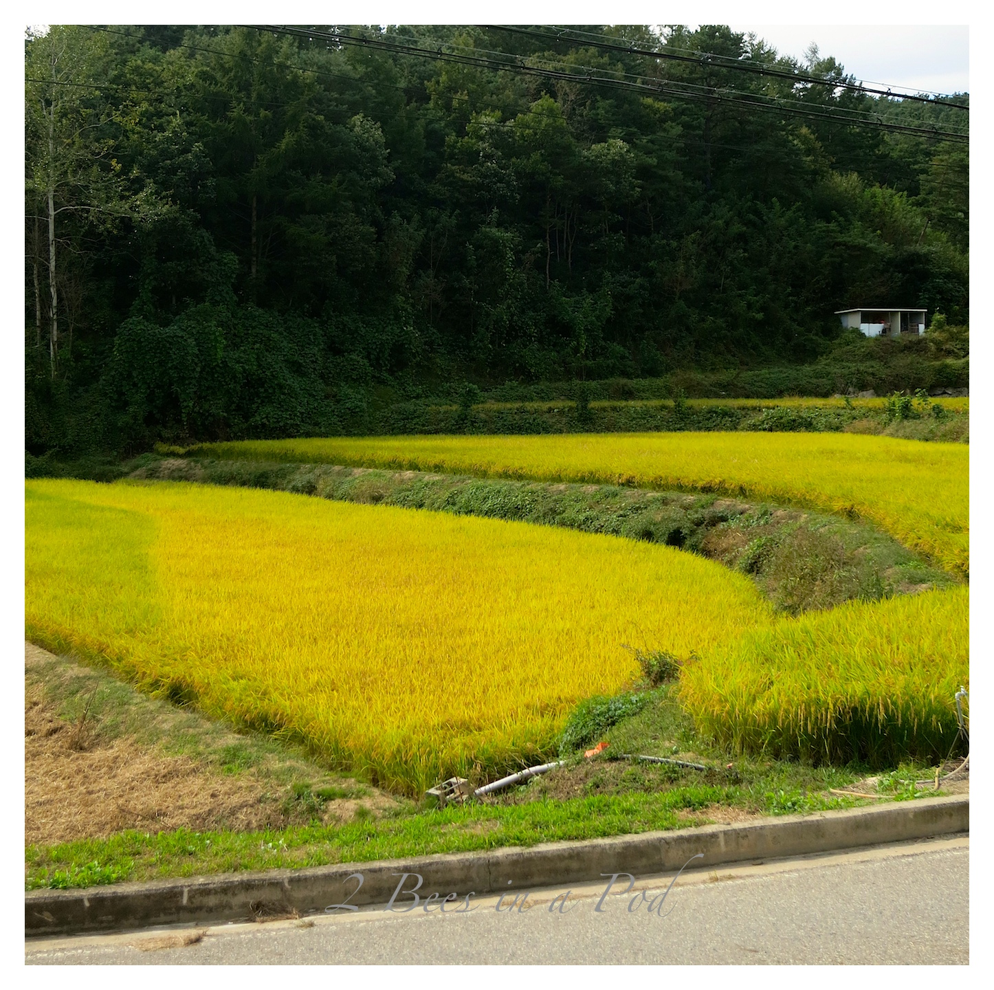 Rice Paddies in the countryside of South Korea