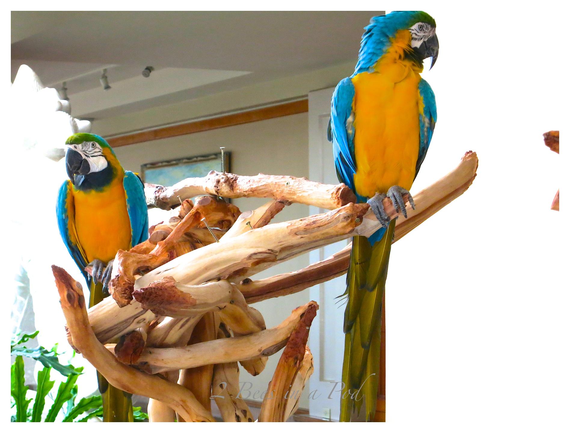 Colorful parrots ins Waikola, Hawaii