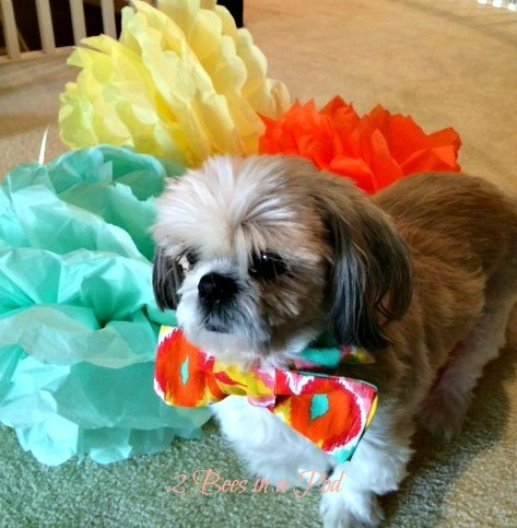 Festive DIY Bow Tie for our family dog. Bridal Shower ready - our Shih tzu loves to dress up and didn't want to be left out!