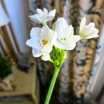 Growing Paperwhites – Now's the Time