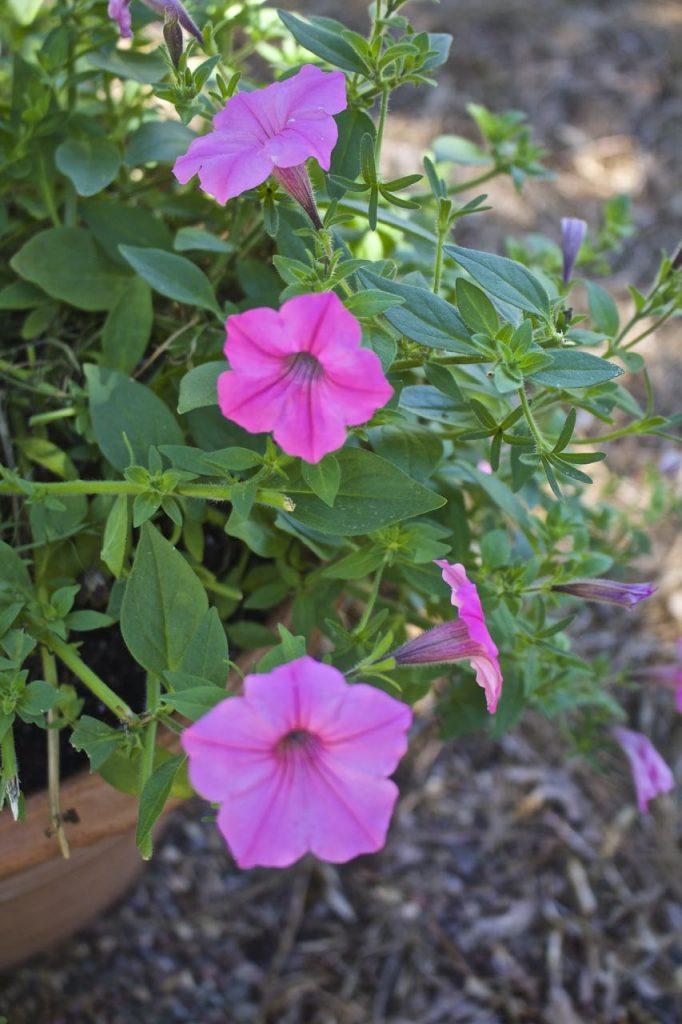 Summer garden and porch tour. Pink Petunia container garden.