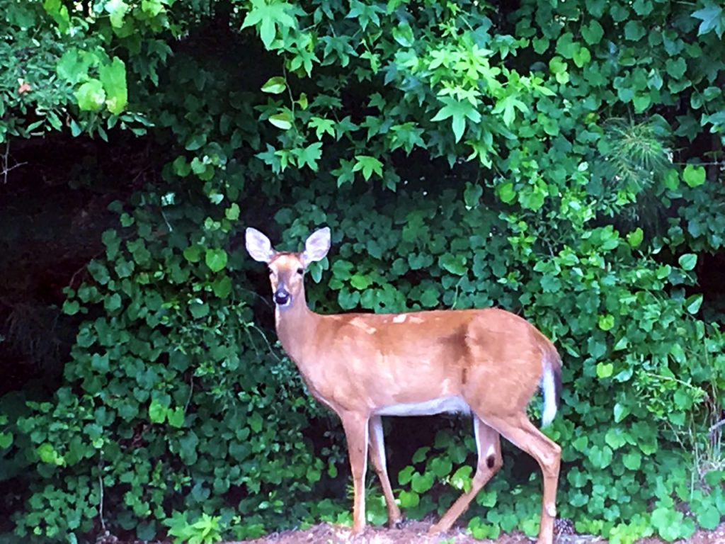 Summer garden and porch tour. Visiting deer in the front yard.