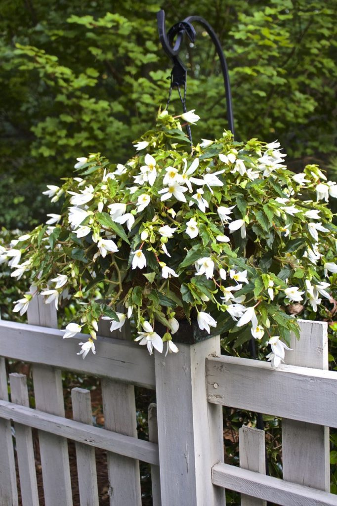 Summer garden and porch tour. White begonias.