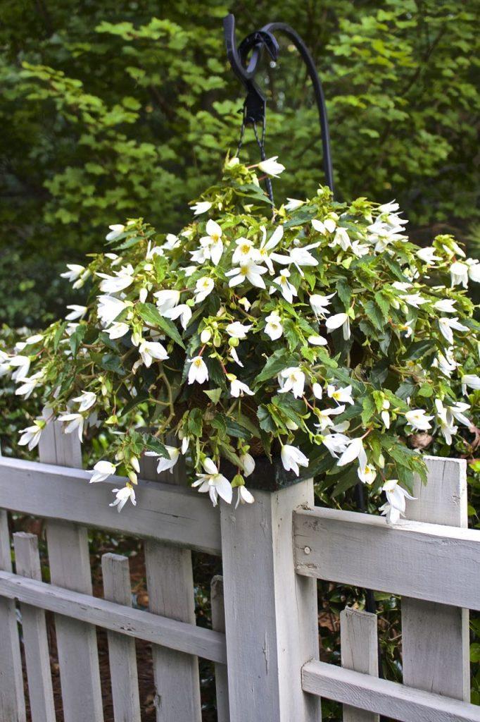 Summer garden and porch tour. White begonias.