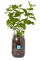 Garden in a Jar Mint