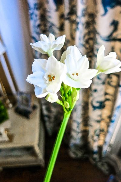 Easily Grow Paperwhites – Getting Holiday Ready