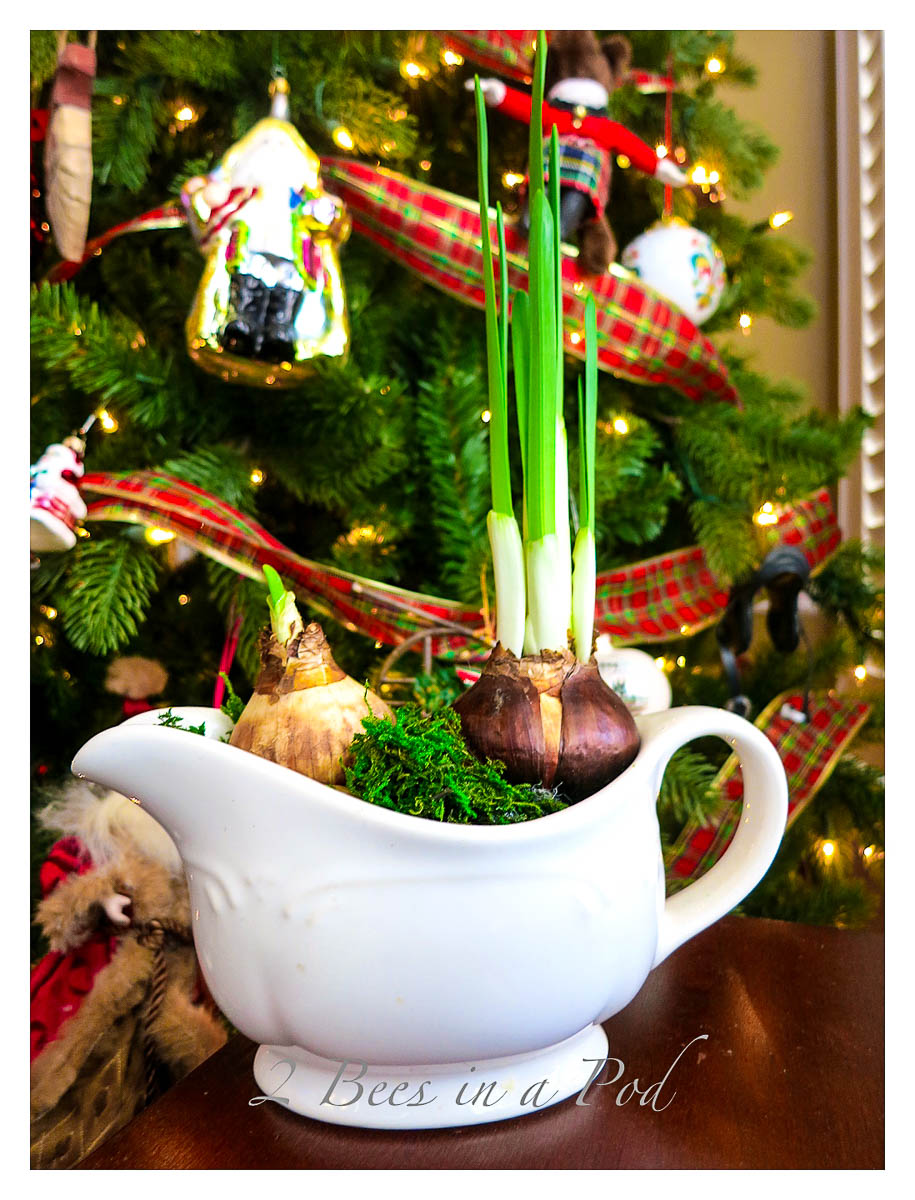 Forcing Bulbs for Christmas Blooms