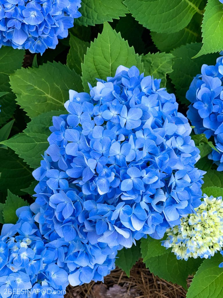 Simple Tips For Growing Hydrangeas In The South 2 Bees