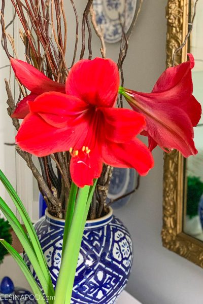 Force Amaryllis Bulbs for Christmas